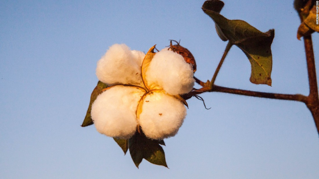 There is a glut of cotton in the global marketplace. This is pushing the price of cotton down. In India's cotton growing belt of Vidarbha in Maharashtra state, farmers say they are getting around Rs 3,000 ($50) for a quintal of cotton. Just a year ago, they were getting twice that amount.