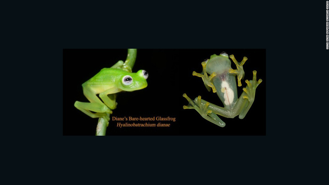 Newly Discovered Frog Species Looks Like Kermit CNN - Real life kermit the frog discovered in costa rica