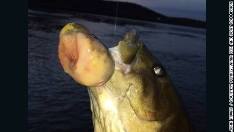 A smallmouth bass with a malignant tumor caught by an angler in the Susquehanna River in Pennsylvania in November, 2014.