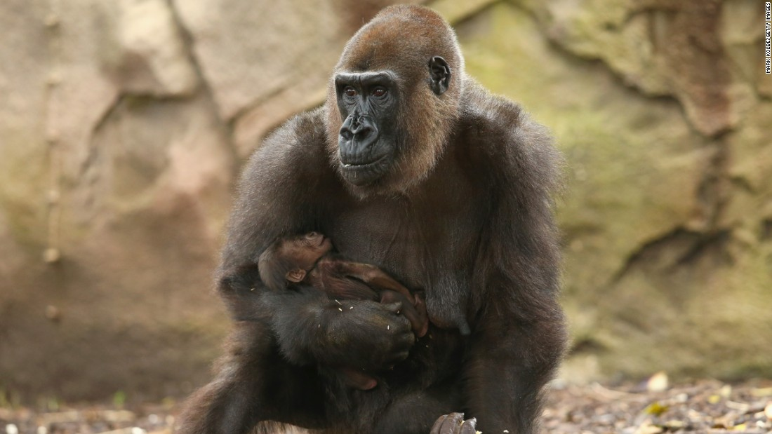 MAY 19 -- SYDNEY, AUSTRALIA: Taronga zoo welcomes the birth of a Western-lowland Gorilla. The species is under threat from poaching, hunting and infectious disease. As yet, keepers have been unable to get close enough to establish the gender of the new-born.