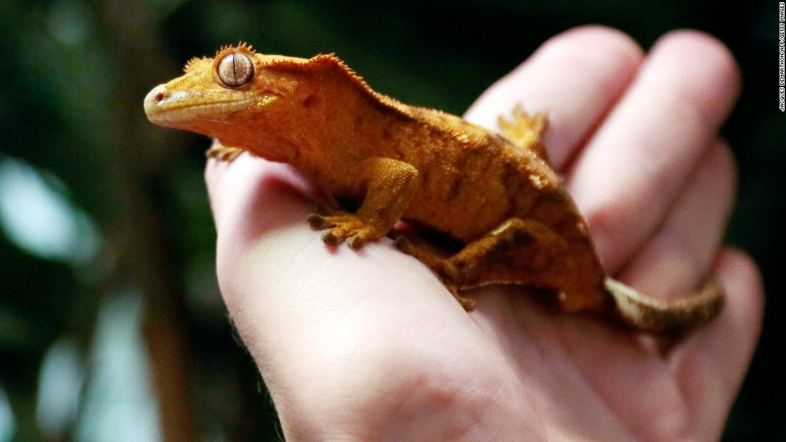 Since January of last year, the US Centers for Disease Control and Prevention (CDC) reported at least 20 people in the U.S. came down with salmonella infections linked to crested geckos they brought home from pet stores.