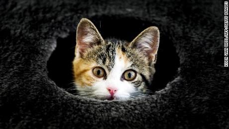 Après l'adoption de la loi, New York pourrait devenir le premier État à interdire le dégriffage des chats