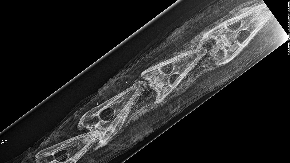 An x-ray of a crocodile mummy was found to contain four juvenile crocodile crania and four hatchling crocodiles.