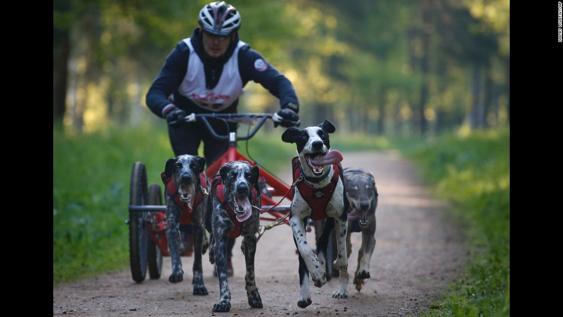 A man and his sled dogs take part in the Baltic Cup race outside St. Petersburg, Russia, on Sunday, May 31.