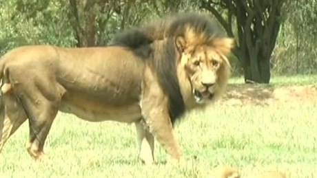 south africa lion attack sot ac_00000708.jpg