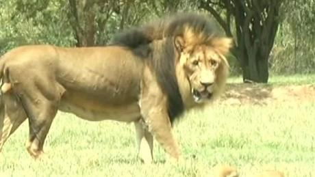 Photo Shows Lion Moments Before It Killed U S Tourist Cnn