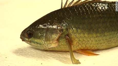 Walking fish poses threat to land animals.