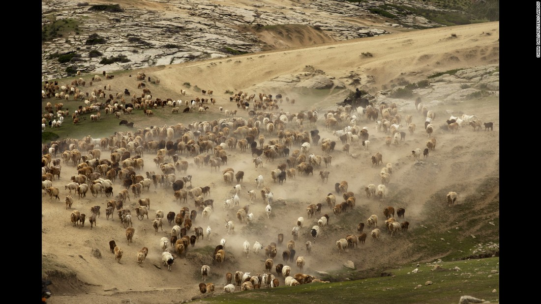 Cattle, sheep and goats are led to summer pastures at a mountainous region in Altay Prefecture, China, on Sunday, May 31.
