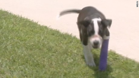 pitbull mix found with muzzle taped shut pkg_00000321