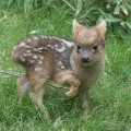 baby zoo animals - pudu fawn