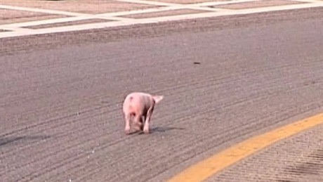 cnnee vo piglets all over hwy _00002207