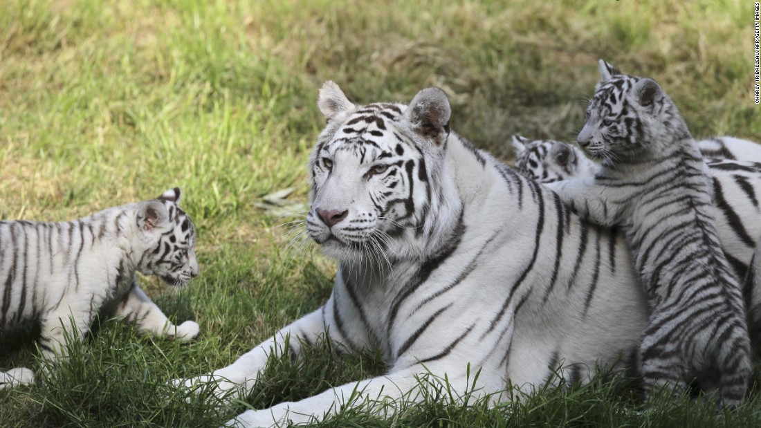 Picture captures rare family portrait of Amur tiger couple