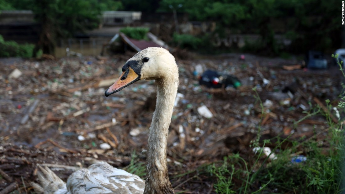 A wounded swan is seen near the zoo on June 14.