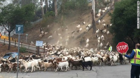 "Berkeley Lab's ""Goats gone wild"" video has been viewed more than a million times on Facebook."