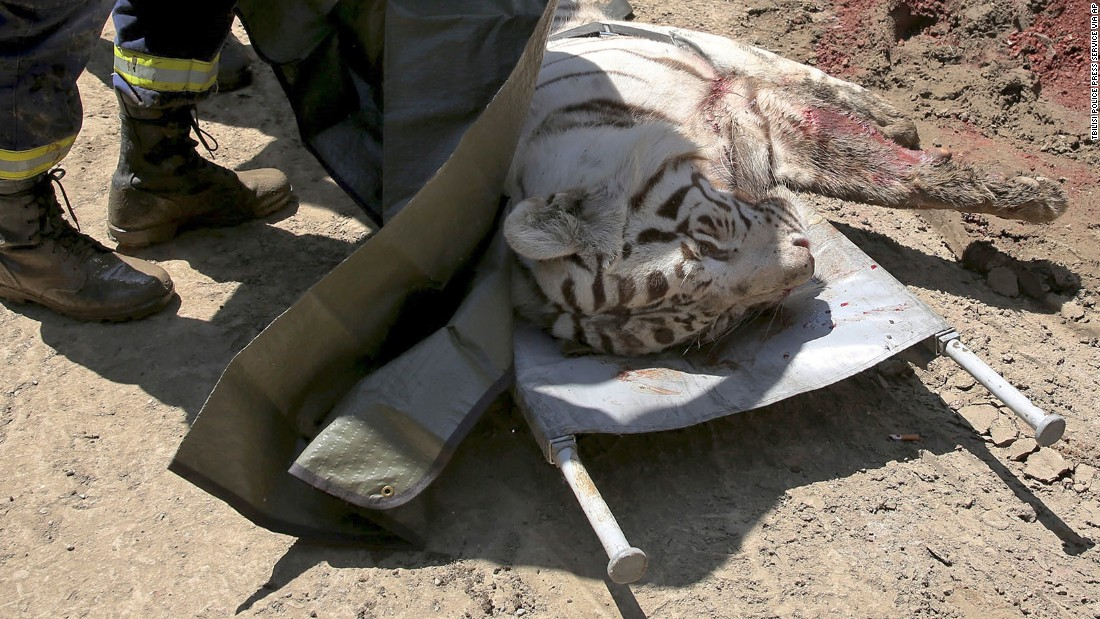 The body of a white tiger lies on a stretcher near a zoo in Tbilisi, Georgia, on Wednesday, June 17. Police shot and killed the tiger after it killed a man at a warehouse. The tiger was among the hundreds of wild animals that escaped from a Tbilisi zoo after severe flooding destroyed their enclosures over the weekend.