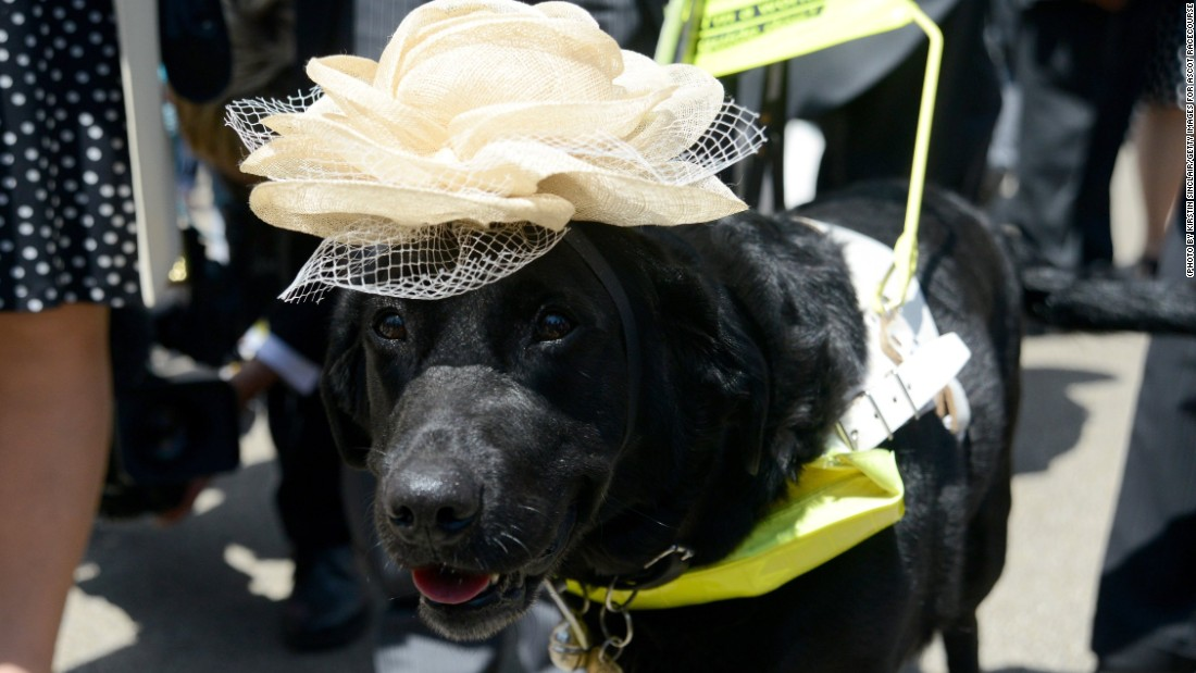 Even guide dogs choose to stick to the guidelines on Royal Ascot's strict dress code on Ladies' Day.