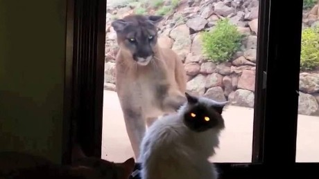House Cat Faces Off With Mountain Lion Cnn Video