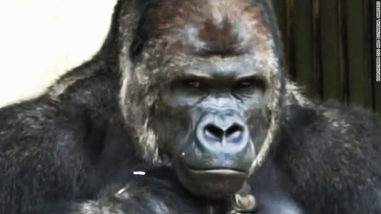 Women flock to 'handsome' gorilla