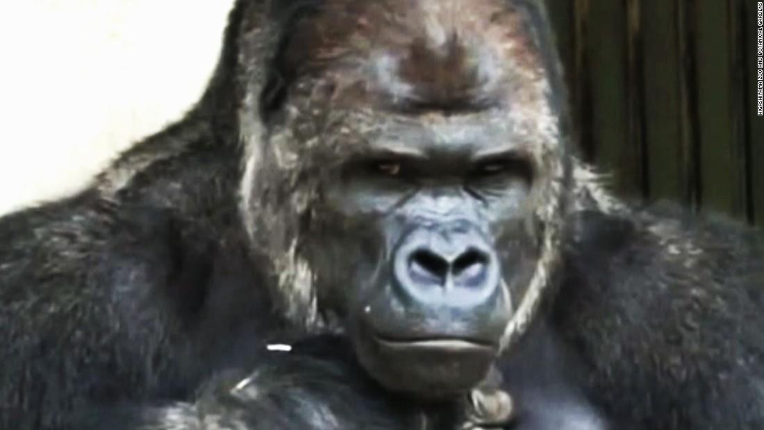 Japanese women go ape over surprisingly handsome gorilla