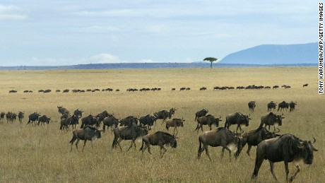 Wildlife roams freely in Kenya's Maasai Mara.