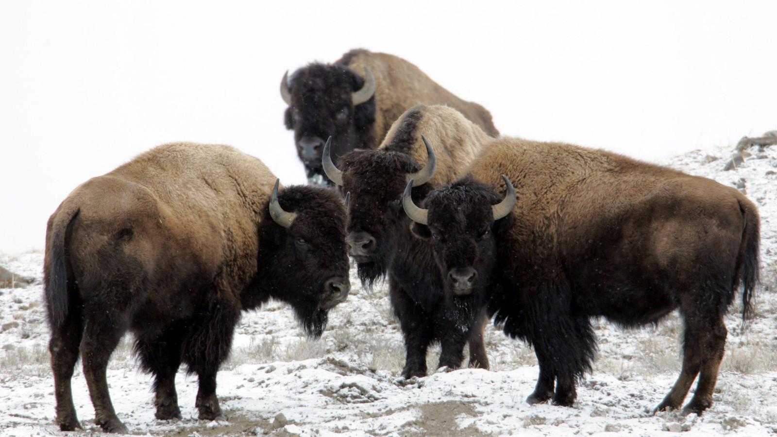 bison attacks woman taking selfie in yellowstone park cnn