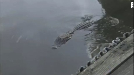 An alligator lurks in the bayou off Burkart's Marina