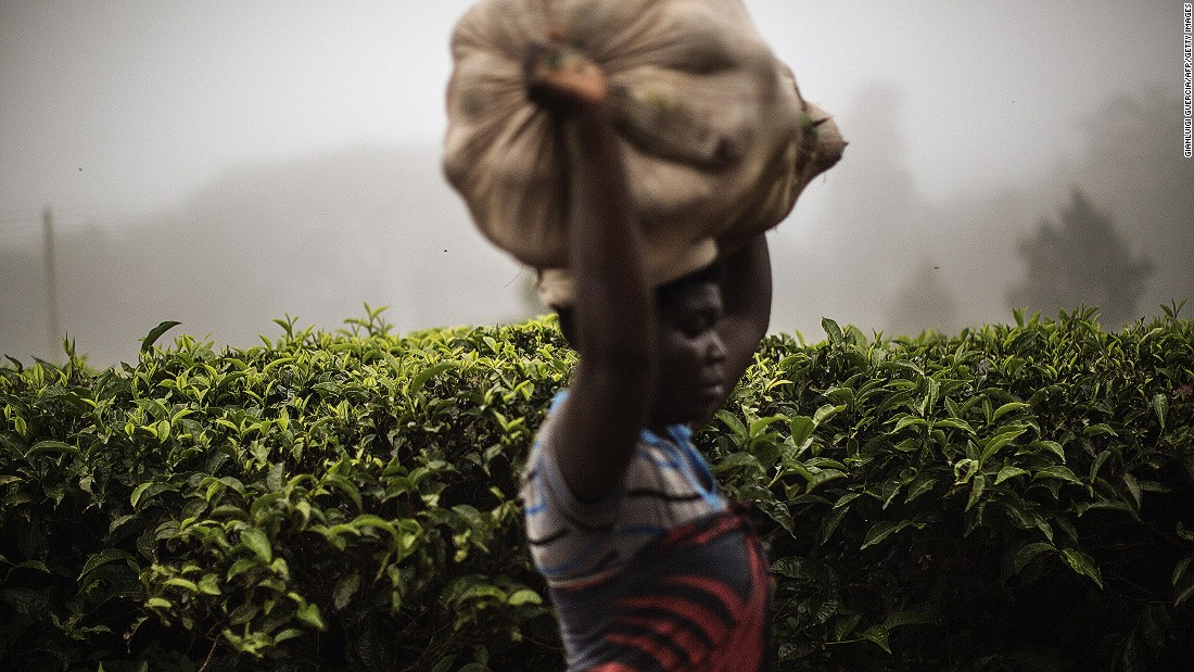 Malawi is home to the oldest tea bushes in Africa, with many dating back to the 19th century. The soil in Malawi is a rich red, and the brew that comes from Malawian tea is famous for possessing a similarly vibrant red hue.