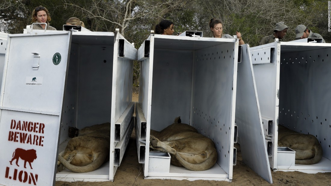 Sedated lions lie inside their travel containers as game reserve officials sort out transportation paperwork.