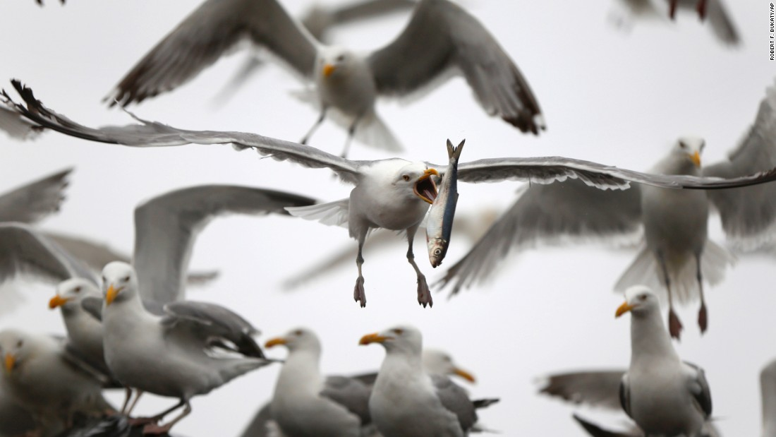 A gull flips a herring in order to swallow it whole Wednesday, July 8, in Rockland, Maine. The gull had just taken the fish from a delivery truck.