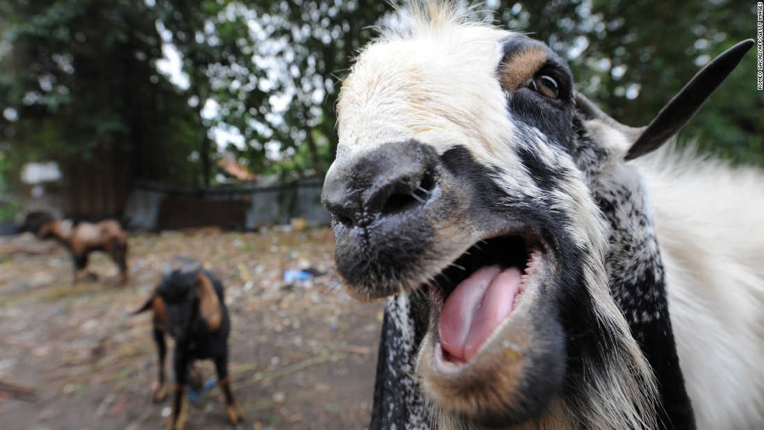 "Why do we find <a href=""https://www.youtube.com/watch?v=SIaFtAKnqBU"" target=""_blank"">goat screams</a> so fascinating?  Because they scream just like humans, says Emory University psychologist and scream researcher <a href=""http://news.emory.edu/stories/2013/10/esc_psychology_of_a_scream/campus.html"" target=""_blank"">Harold Gouzoules</a>.  To prove it, just check out the many goat compilations on YouTube, including this <a href=""https://www.youtube.com/watch?v=NFgx5MY72Dk"" target=""_blank"">Taylor Swift</a> mashup and this <a href=""https://www.youtube.com/watch?v=ii6RF4a-n6c"" target=""_blank"">commercial.</a>"