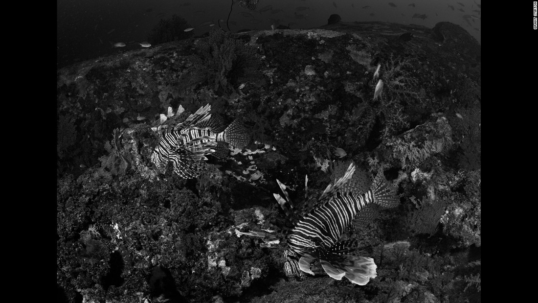 A couple of lionfish hunt for small fish. Although their spines are very poisonous, lionfish are very calm and safe if approached gently, Stirton said.