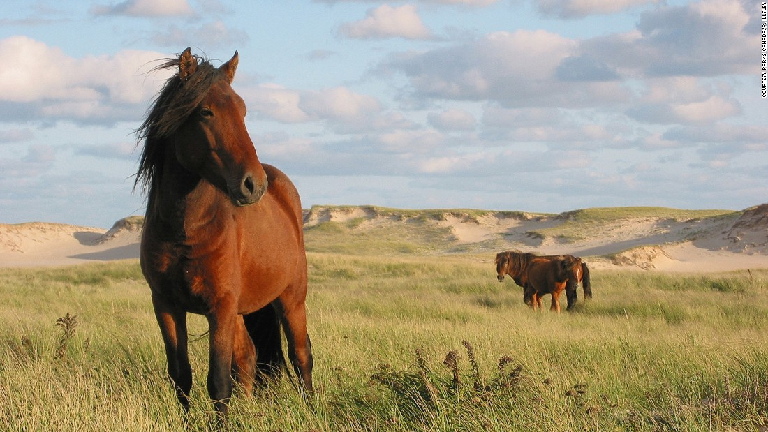 Sable Island National Reserve is home to six permanent residents and more than 500 free-roaming Sable Island Horses. Its shores welcome more than 50,000 gray seals.