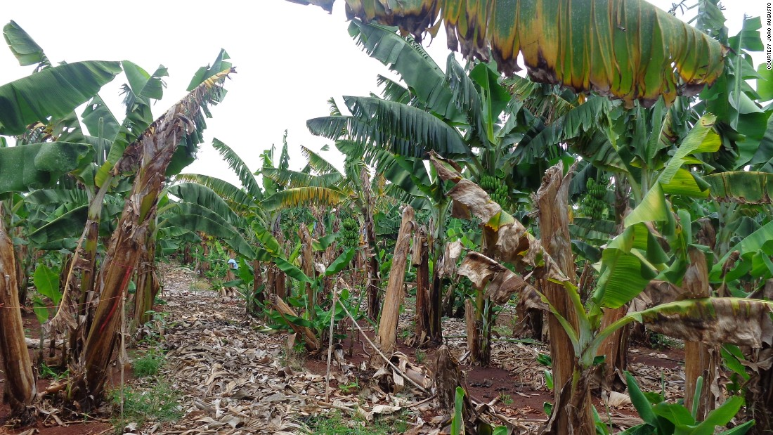 Panama disease caused by Tropical Race 4 (TR4) in northern Mozambique. The picture, taken in January 2015, shows a banana farm planted with the Cavendish variety.