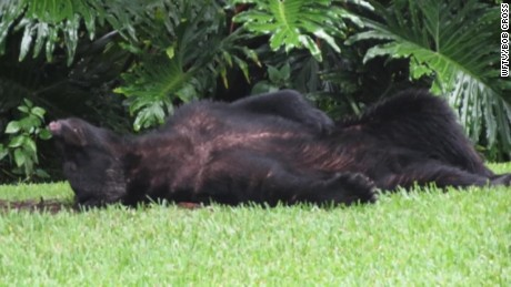 sleepy black bear florida_00004204.jpg