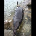 04.plymouth-beached-whale.Plymouth Beached Whale.JPG