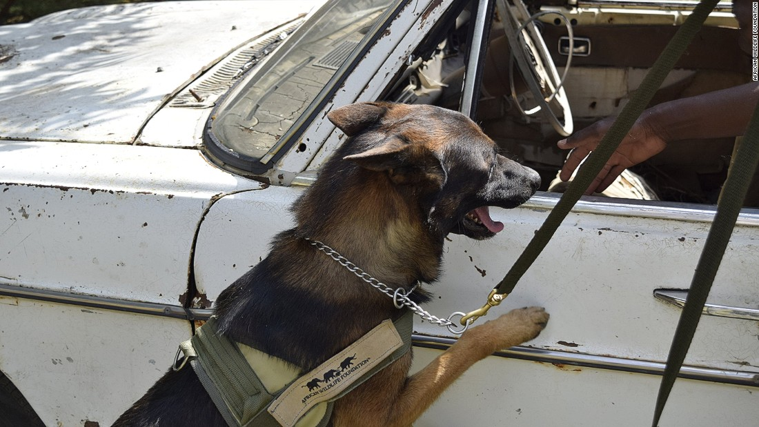 The dogs are taught to search cars, trucks, luggage and buildings. Whenever they detect ivory, they are trained to sit or lay down, which indicates to their handler that ivory has been found.