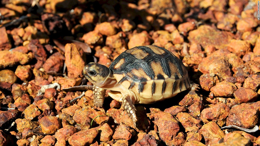 The ploughshare tortoise is the world's most endangered tortoise. Experts estimate there are likely fewer than 200 left in the wild.