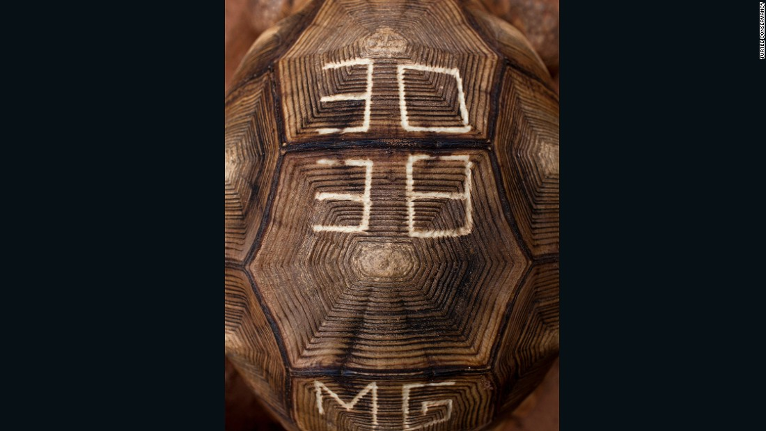 To make the animal less appealing to collectors, conservationists have started defacing the shells of ploughshare tortoises.