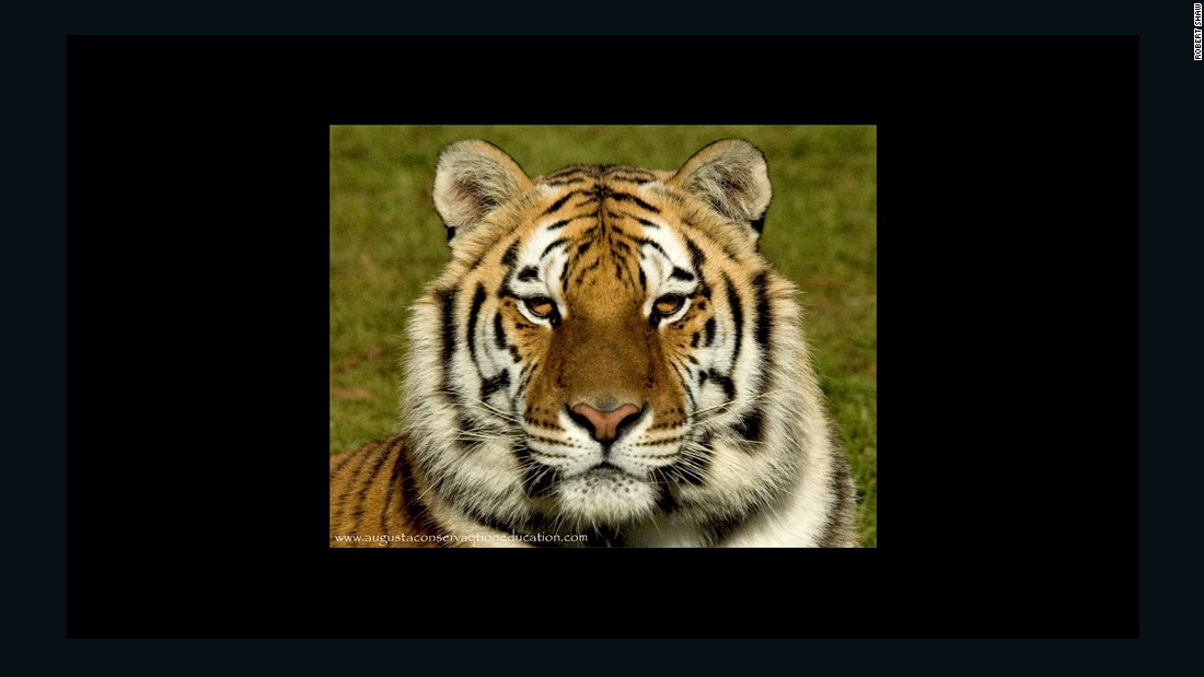 Kali, pictured here, was taken in by the Big Cat Rescue sanctuary in Tampa, Florida, founded by Carole Baskin.