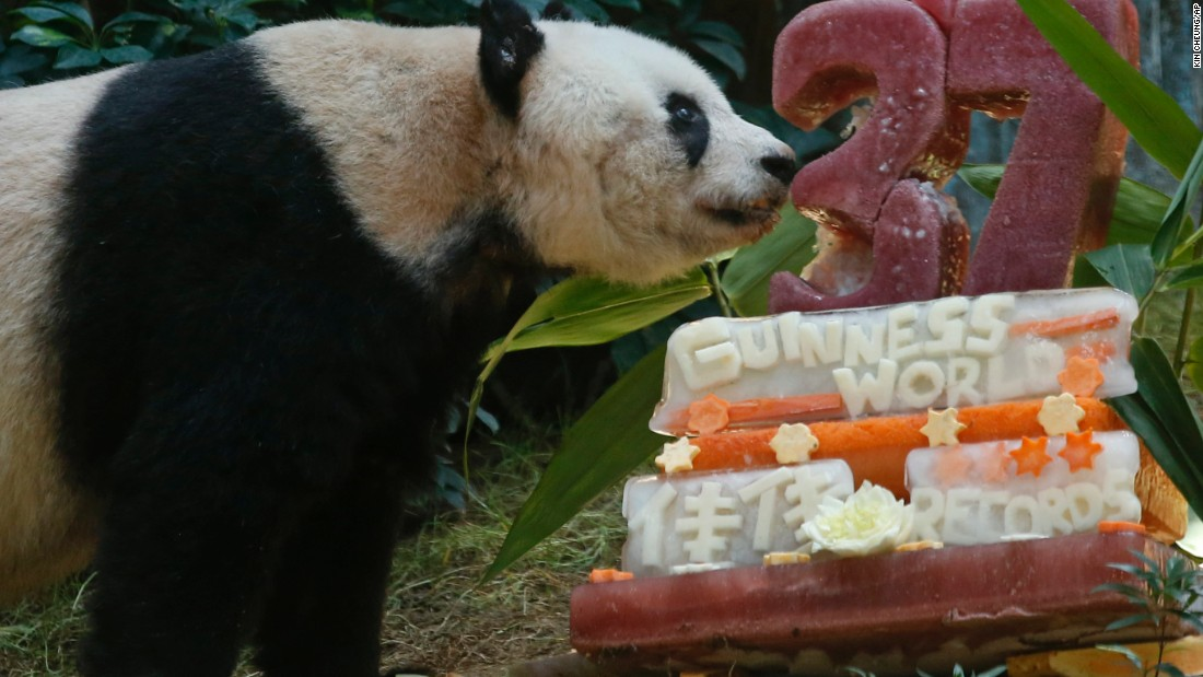Giant panda Jia Jia, who turned 37 on Tuesday, July 28, 2015, became the world's oldest living panda in captivity.