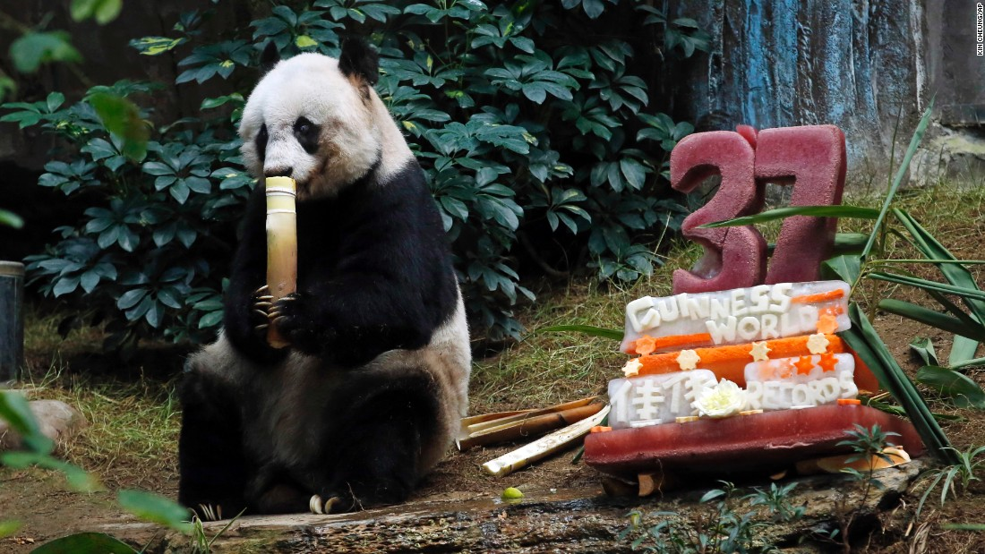 "The giant panda was given a birthday ""ice cake"" that consisted of a block of ice with grenadine and mint syrup and an apple inside. The scents of the syrups are used to stimulate Jia Jia's strongest functioning sense, her sense of smell."