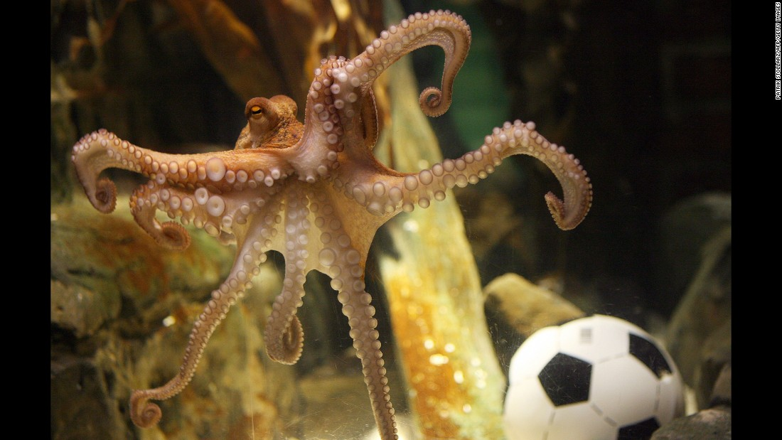 "It's not often that an octopus becomes widely admired, but when you can pick World Cup winners, you can write your own ticket. Paul the octopus, a resident of the Sea Life Centre in Oberhausen, Germany, correctly predicted the winner of every German match in the 2010 World Cup -- and then <a href=""http://www.cnn.com/2010/WORLD/europe/07/13/germany.paul.the.octopus/"">nailed the final, too</a>. He <a href=""http://edition.cnn.com/2010/SPORT/10/26/germany.paul.octopus.death/"">died of natural causes</a> a few months later."