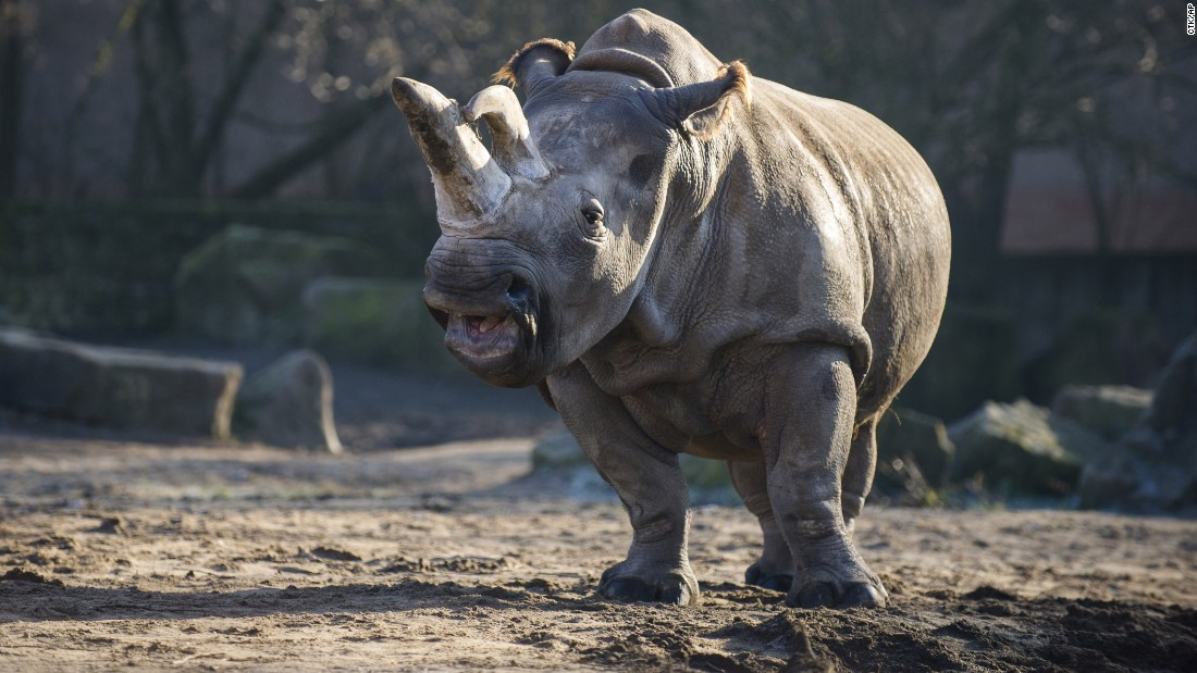 In this photo taken in December 2013, the northern white rhino Nabire walks around in her enclosure at the zoo in Dvur Kralove, Czech Republic. Nabire died of a ruptured cyst on Monday, July 27, leaving only a few northern white rhinos left in the world.