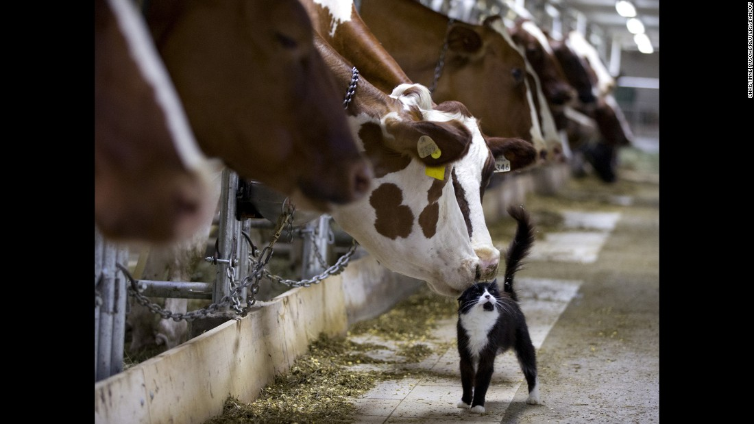 Cows nuzzle a cat as they wait to be milked at a farm in Granby, Quebec, on Sunday, July 26.