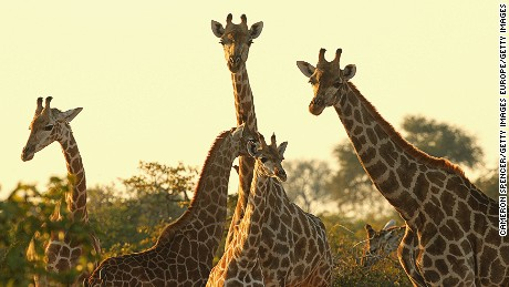 Giraffes gather in the Mashatu game reserve in Mapungubwe, Botswana, in 2010.