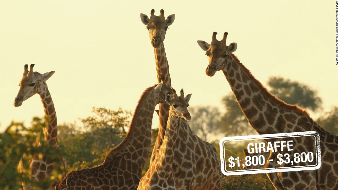 "Earth's tallest mammal can run as fast as <a href=""http://animals.nationalgeographic.com/animals/mammals/giraffe/"" target=""_blank"">35 miles (56 kilometers) an hour over short distances.</a> But that's unlikely to deter a hunting enthusiast. Giraffes can be shot down for $3,800 in South Africa, $3,200 in Zimbabwe or $1,800 in Namibia.<br />The <a href=""http://www.iucnredlist.org/details/9194/0"" target=""_blank"">International Union for Conservation of Nature and Natural Resources (IUCN)</a> warns that recent declines may mean that the species will be moved up to a higher category of threat."