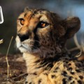 Trophy Animals Cheetah