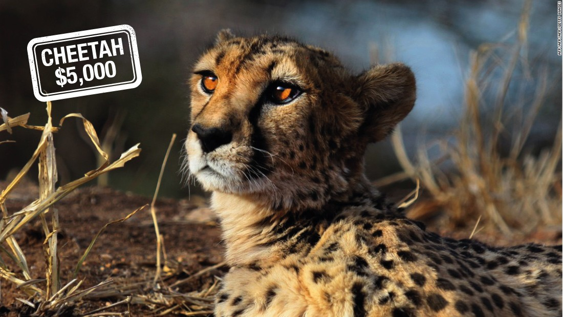 "Hunting the cheetah can cost $5,000 in Namibia -- but only if he or she can catch up with the world's fastest land mammal, which can go from <a href=""http://animals.nationalgeographic.com/animals/mammals/cheetah/"" target=""_blank"">0 to 60 miles (96 km) an hour in just three seconds. </a><br />According to the IUCN<a href=""http://www.iucnredlist.org/"" target=""_blank""> Red List of Threatened Species</a>, the cheetah is<a href=""http://www.iucnredlist.org/details/221/0"" target=""_blank""> critically endangered.</a>"
