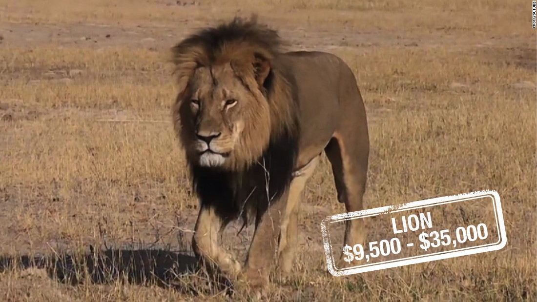 "The cost to kill a lioness can be up to $9,500 in South Africa, whereas a lion can set a hunter back $23,000, $30,000 for a white lion or $35,000 for a black mane lion, similar to Cecil. It's unclear what <a href=""http://edition.cnn.com/2015/07/31/world/zimbabwe-cecil-lion-dentist/"">Walter Palmer's</a> $55,000 payment may have included.<br />According to the <a href=""http://whitelions.org/white-lion/key-facts-about-the-white-lion/"" target=""_blank"">Global White Lion Protection Trust,</a> there are hundreds of white lions in captivity, but less than 13 in the wild. And there are no laws to stop them being hunted.<br />Although lions are not listed as endangered, it's claimed by certain wildlife activists that their numbers are in <a href=""http://journals.plos.org/plosone/article?id=10.1371/journal.pone.0083500"" target=""_blank"">serious decline in West Africa. </a>"