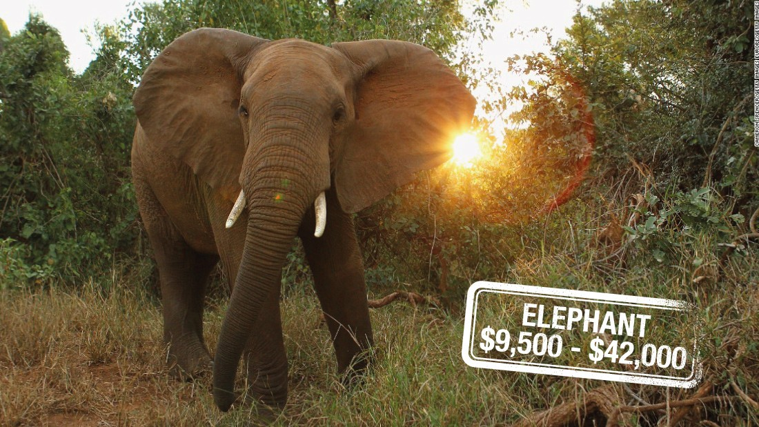 "Poaching, habitat destruction, human-animal conflict, war and an overwhelming demand for ivory have in Asia have all contributed to the <a href=""http://edition.cnn.com/2015/04/10/africa/chad-elephant-conservation/"">disappearance of elephants,</a> categorized as <a href=""http://www.iucnredlist.org/details/12392/0"" target=""_blank"">vulnerable.</a> And it can cost $42,000 to hunt and kill the largest land mammal on Earth or $9,500 for a non-trophy elephant in Zimbabwe."